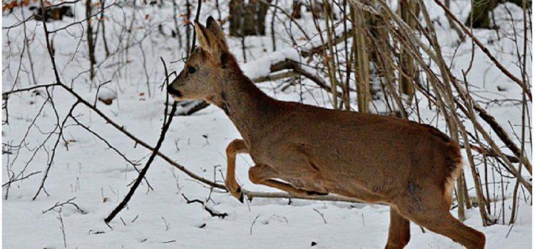 La chasse au gros gibier : Comment s'y prendre ?